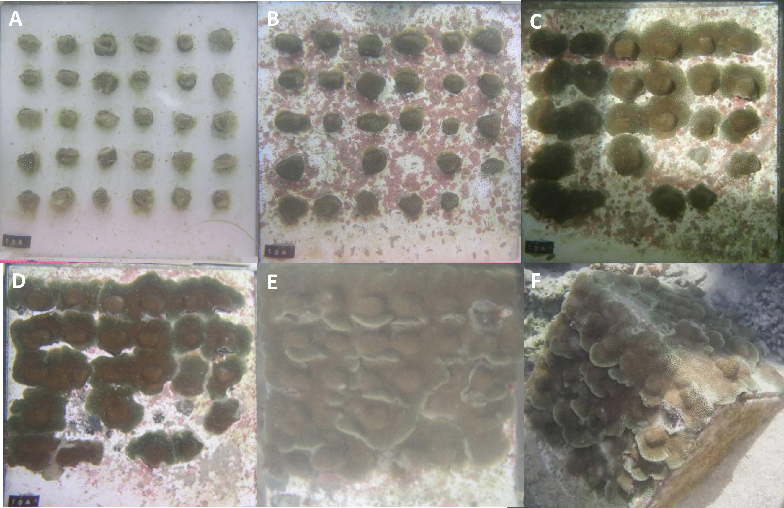 Growing Coral Larger And Faster Micro Colony Fusion As A
