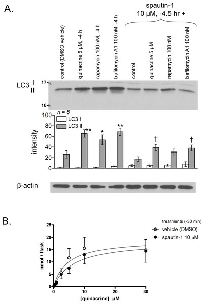Effect of the autophagy inhibitor spautin-1 on quinacrine transport in mouse fibroblasts.