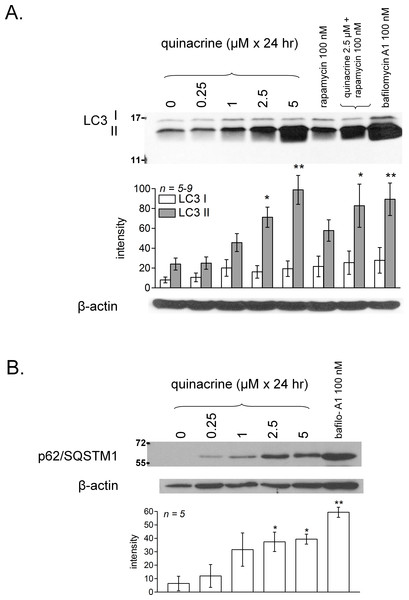 Characterization of quinacrine-induced autophagic accumulation in murine fibroblasts and comparison with other treatments.