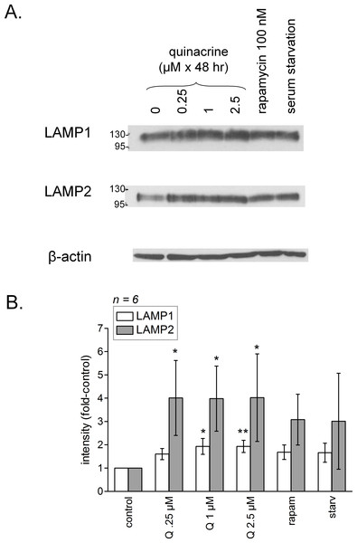 (A) Prolonged (48 h) effect of quinacrine and other treatments on feed-back lysosomal genesis in C57BL/6 mouse dermal fibroblasts as assessed using immunoblotting of LAMP1 and LAMP2. (B) Average densitometry values of immunoblots for replicated experiments.