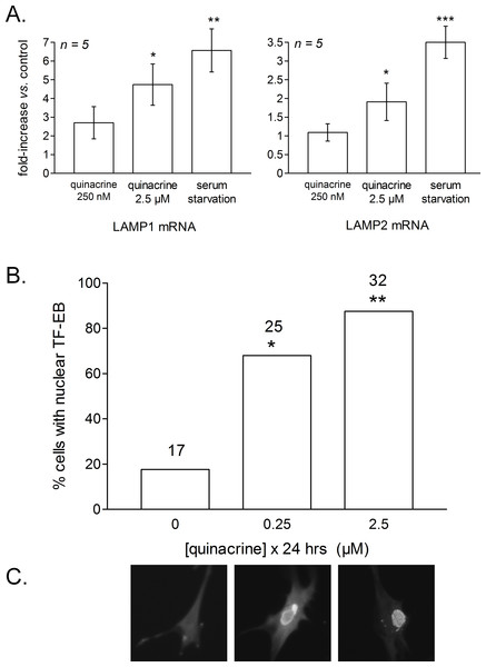 RT-PCR determination of LAMP1 and LAMP2 mRNA levels in mouse fibroblasts treated as indicated for 24 h.