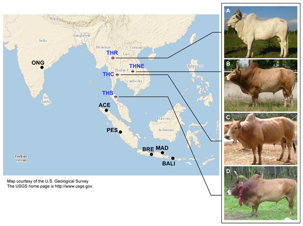 Images of four native Thai cattle varieties.