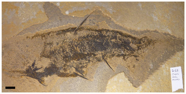 Specimen of Cheiracanthus sp.