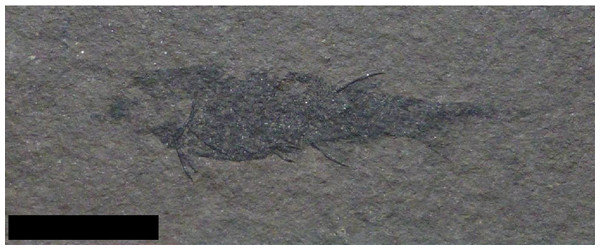 Specimen previously identified as Mesacanthuspusillus.