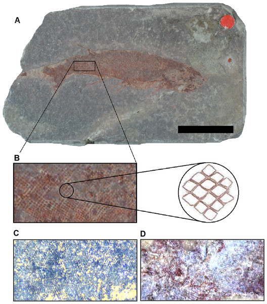 Scale morphology and arrangement in Mesacanthus.