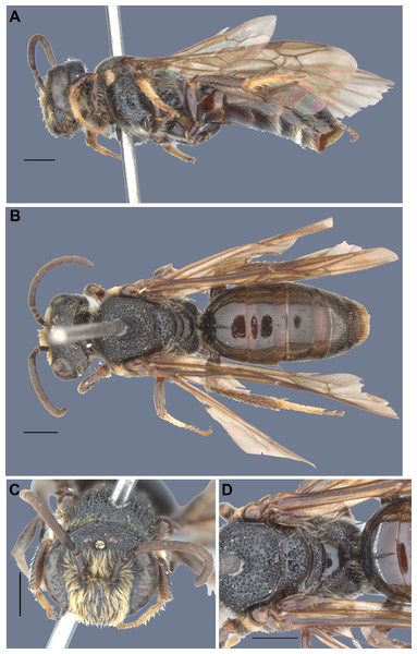 Male specimen of Hoplocolletes chalceus (Friese, 1924) from Itapina, ES, Brazil [DZUP] (photo credit: Eduardo A.B. Almeida).