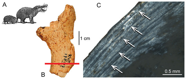Histological features of the femur of Deinogalerix sp.
