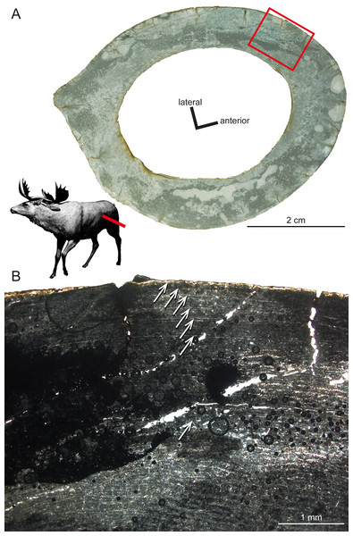 Histological features of Sinomegaceros yabei, the megacerine deer from the Pleistocene of Japan.