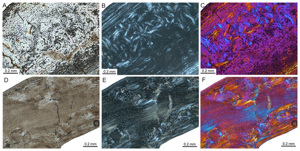 Bone histology of fossil island rodents.