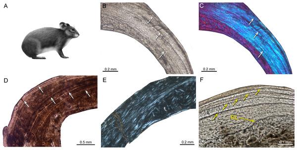 Bone histology of fossil ochotonids.