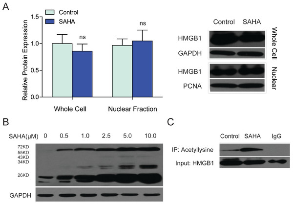 SAHA treatment improved the lysine acetylation of intracellular HMGB1.