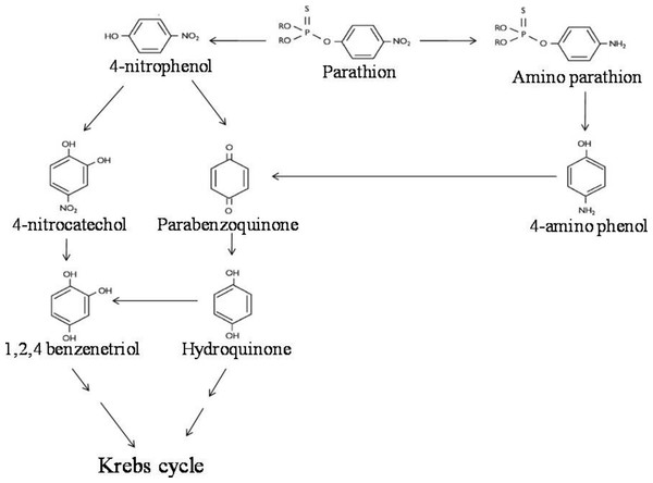 Parathion degradation pathway.