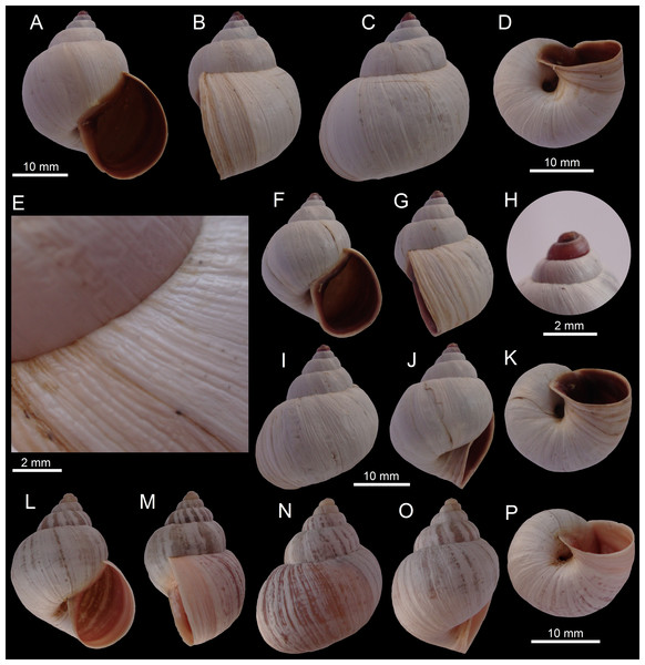 Images of shells of Bostryx species.
