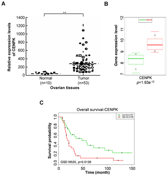 Aberrant expressions of centrosome protein K (CENPK) are associated with shorter survival of ovarian cancer patients.