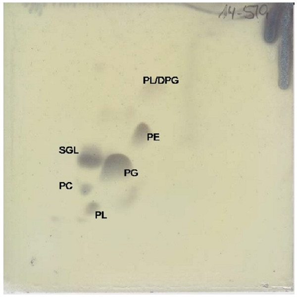 Two dimensional silica gel thin layer chromatography results for polar lipids, isolated following standard protocols at the DSMZ (see 'Methods').