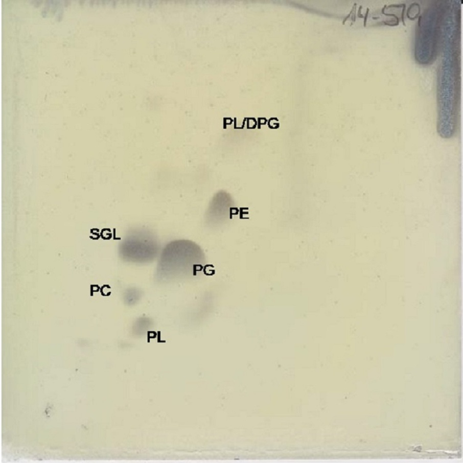 Download full size image Porphyrobacter mercurialis sp nov