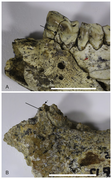 Comparison of Wakaleo dentaries showing P3.