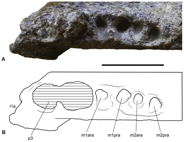 Wakaleo alcootaensis, right lower tooth row in occlusal view, NTM P4325.