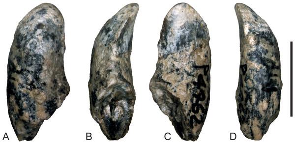Wakaleo alcootaensis, photographs of isolated right upper canine, NTM P4462.