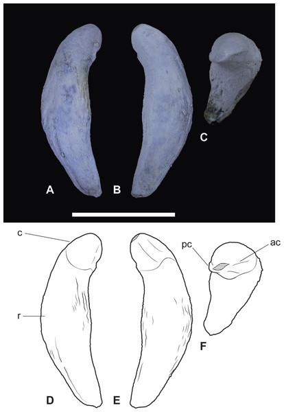 Wakaleo alcootaensis, isolated right upper canine, NTM P4463.