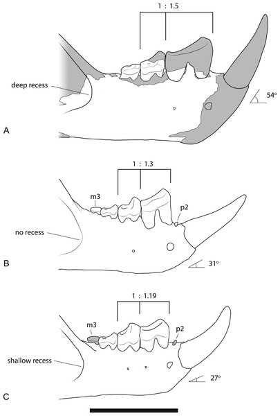 Comparison of the dentaries of Wakaleo species.