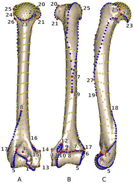 3D view of a Martes martes MNHN 2005-232 humerus showing the location of the 27 anatomical landmarks and 18 curves used to quantify the humeral shape.