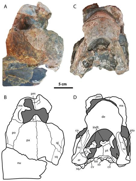 Leyvachelys cipadi FCG-CBP-71 skull and lower jaw.