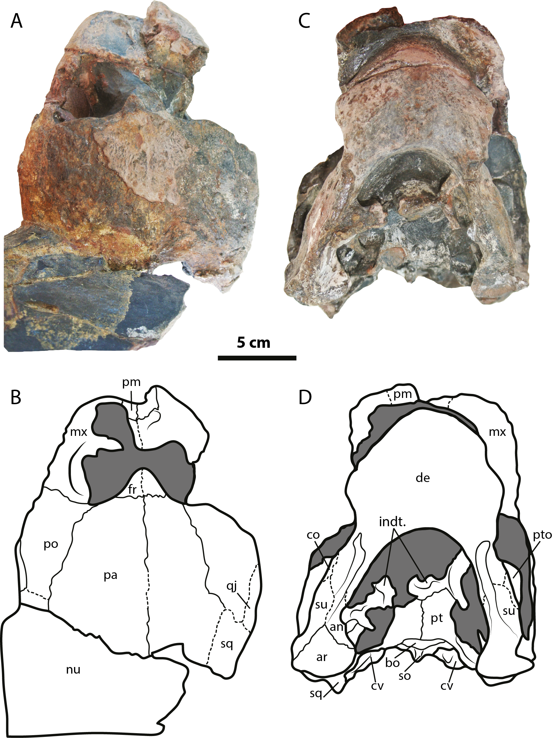 The first South American sandownid turtle from the Lower Cretaceous ...