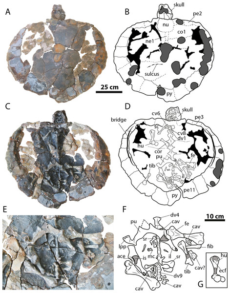 Leyvachelys cipadi FCG-CBP-71 whole specimen, skull, lower jaw and postcrania.