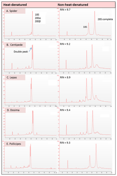 Electropherogram traces for 100–200 ng of total RNA applied to an RNA Nano Chip were generated on the Agilent 2100 Bioanalyser.
