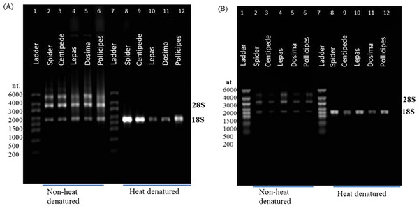 rRNA migration patterns on denaturing gel.