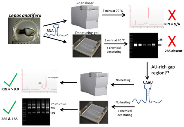 The steps involved in determining RNA quality in a species containing a 'gap deletion'.