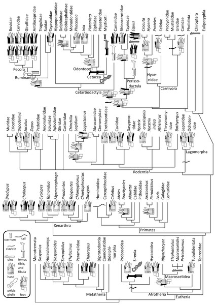 Phylogeny of bone vestigialization and loss in mammals.