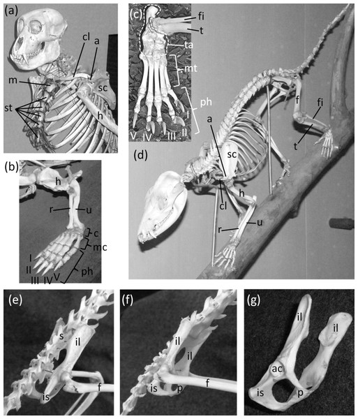 Mammal skeletons with structures in a non-vestigial state.