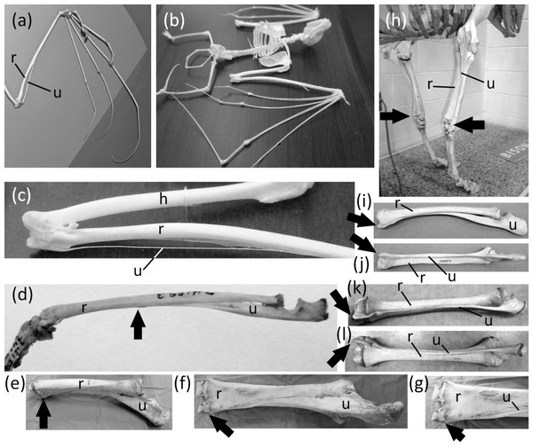 Vestigial ulnar shafts in bats, an elephant shrew, and a horse, and nearly-vestigial ulnae in artiodactyls, with distal tip of ulna indicated by arrow.