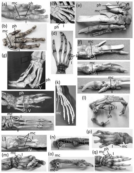 Vestigial fingers and metacarpals, circled with broken line.