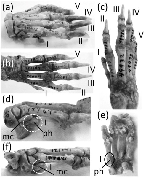 Various levels of thumb expression in Hystrix (Old World porcupines), with vestigial structures circled with broken line.