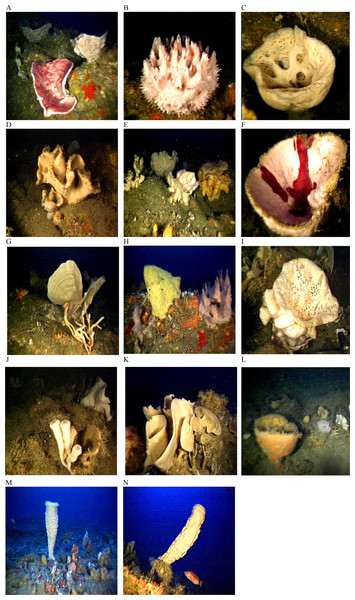 Glass sponges and demosponges identified from images from deep-reef sites off Great Barrier Island.