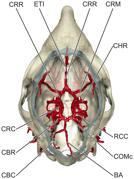 Cerebral arterial circle of Moschiola memmina.