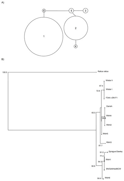Phylogenetic relationships from mtDNA; study samples and closely-related Genbank sequences.