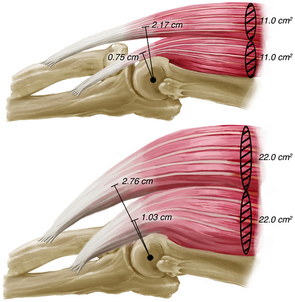 Illustration of the changes in biceps brachii and brachialis moment arm lengths with increases in anatomical cross-sectional area.