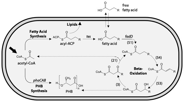 Schematic of fatty acid production and uptake by Ralstonia eutropha H16.