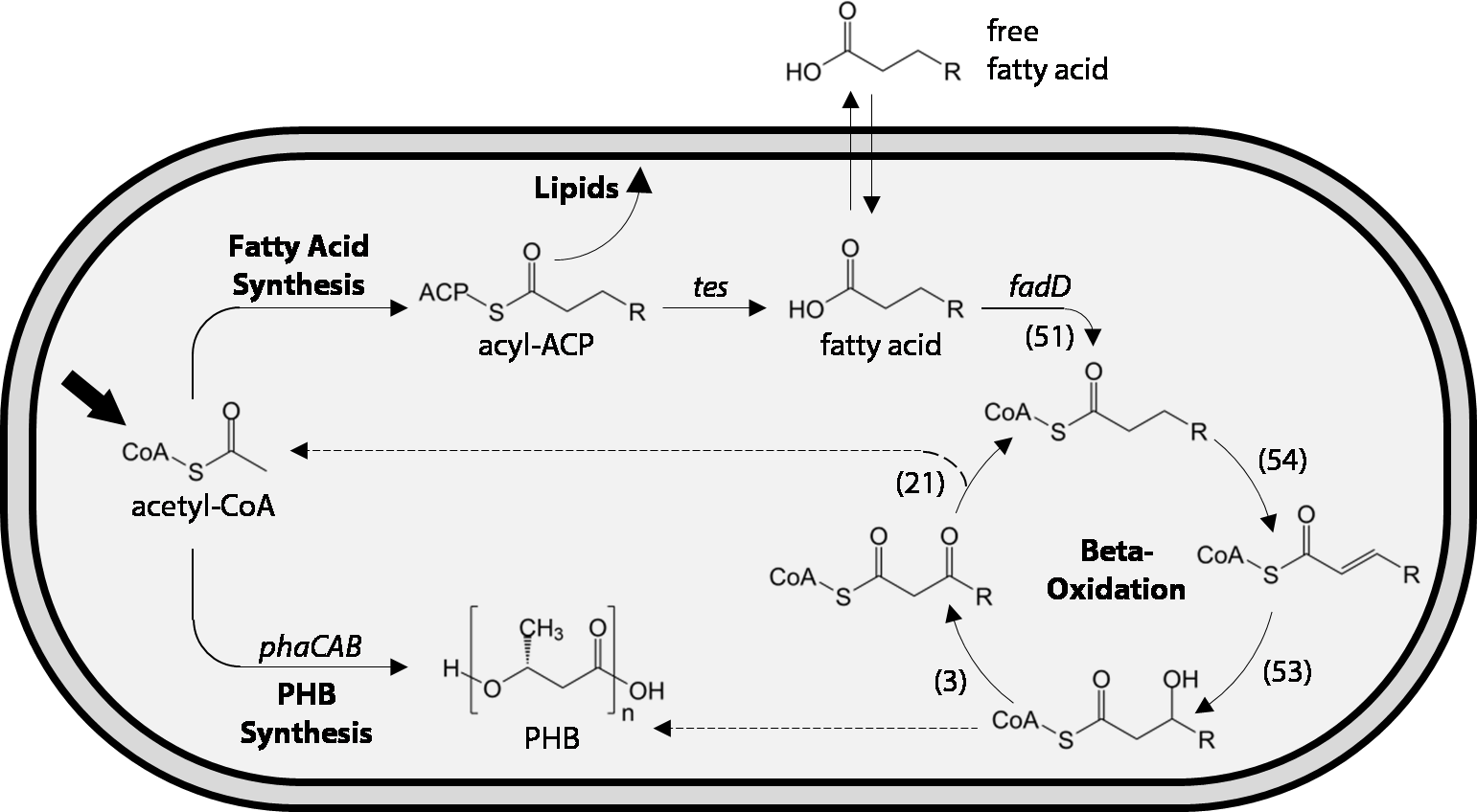 Production Of Fatty Acids In Ralstonia Eutropha H16 By Engineering Ford Y Block Oiling Diagram Download Full Size Image