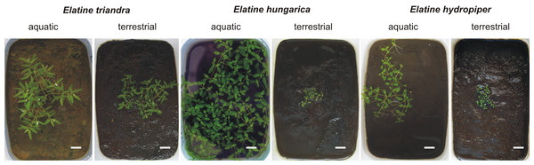 Aquatic (continuously flooded) and terrestrial (growing on wet mud) forms with same age of three central European Elatine species cultivated in plastic boxes.