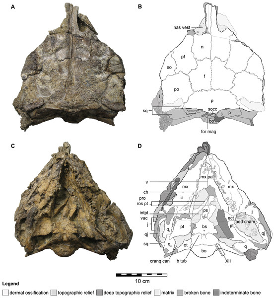 Cranial osteology of Kunbarrasaurus ieversi gen. et sp. nov. (formerly Minmi sp.) (QM F18101), with schematic version in dorsal (A–B) and ventral (C–D) aspects.