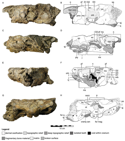 Cranial osteology of Kunbarrasaurus ieversi gen. et sp. nov. (formerly Minmi sp.) (QM F18101), with schematic version in left lateral (A–B), right lateral (C–D), rostral (E–F) and caudal (G–H) aspects.