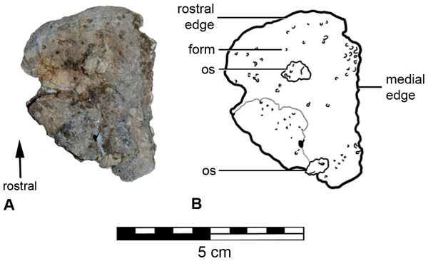 Left fragment of the premaxillary beak (A) with schematic (B), in rostral aspect.