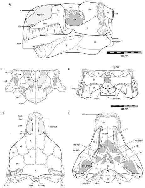 Reconstruction of the skull of Kunbarrasaurus ieversi gen. et sp. nov. (QM F18101), in (A) left lateral, (B) rostral, (C) caudal, (D) dorsal and (E) ventral aspects.