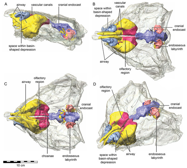 Semitransparent skull of Kunbarrasaurus ieversi gen. et sp. nov. (QM F18101) showing the position of components of the nasal cavity, cranial endocast, and endosseous labyrinth of the inner ear in (A) left lateral aspect, (B) dorsal aspect, (C) ventral aspect, and (D) left rostrodorsolateral aspect.