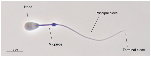 The main structures of red deer spermatozoon.